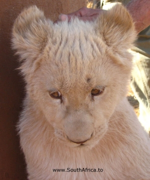 Some of the baby cubs at the Lion Park.